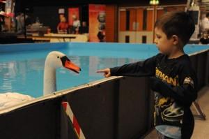 Talking Swan